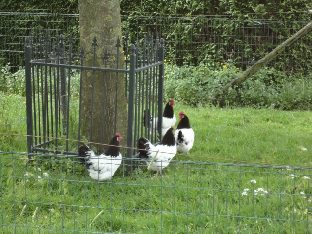 Bijzondere kippen